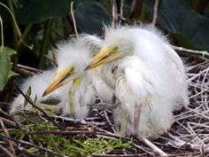Baby Egrets 2 by Duane Lipham on 500px