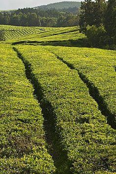 The Gorreana Tea Plantation, San Miguel, Azores, Portugal, Europe