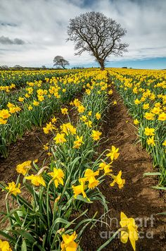 Rows of Daffodils by Adrian Evans!!