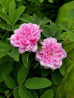 mökinruusu Rose Varieties, Hybrid Tea Roses, The Little Prince, Beautiful Roses, Perennials, Peonies, Spring, Gardening, Google