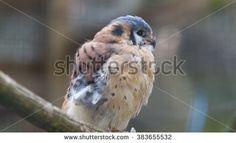 Kestrel falcon perched in cage - stock photo