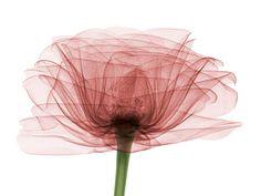 lajoiedesfleurs.fr La poésie photographique  le photographe anglais Hugh Turvey, photographie toutes sortes d'objets aux rayons X. Mais c'est surtout quand il s'intéresse aux fleurs que son travail technique dévoile toute la poésie et l'esprit de la nature.