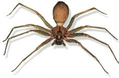 info   on the  Brown Recluse spider; apparently their abundant at our locale in Indiana.