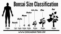 Bonsai Size Classification Chart and Guide Many people think of bonsai as small trees. Buy Bonsai Tree, Bonsai Tree Care, Bonsai Tree Types, Indoor Bonsai Tree, Indoor Trees, Bonsai Trees, Bonsai Pruning, Bonsai Plants, Bonsai Garden