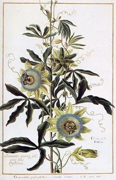 Fleur de la Passion = Clematis quing: fol. siue flos Passionis = Granadilla polyphillos fructu ovato (1772-1793)