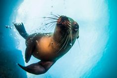 OCTOBER 7, 2017GETTING ACQUAINTED  A sea lion plays with the bubbles coming from Your Shot photographer Camallonga Emmanuelle's oxygen tank. Emmanuelle was photographing the animals while diving near Los Islotes, an island off of Baja California. Sea lions' whiskers help them not only navigate in dark waters, but also find food nearby.  PHOTOGRAPH BYCAMALLONGA EMMANUELLE, NATIONAL GEOGRAPHIC YOUR SHOT