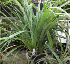 Euphorbia Characias Wulfenii Spurge Common