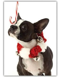 Boston Terrier Christmas Cards.....Might have to get this :-D