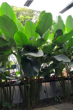Calathea lutea (Cuban Cigar) - Calathea lutea is one of the taller species of the genus Calathea. It makes a fantastic feature plant with its enormous white paddle shaped leaves. Requires tropical or warm subtropical conditions to grow well.