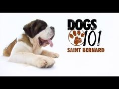 Bernards, like all very large dogs, must be well socialized with people and other dogs in order to prevent fearfulness and any possible aggression or ter. Cat Love, I Love Dogs, Puppy Love, Big Dogs, Large Dogs, St Bernard Dogs, Tibetan Mastiff, Dogs 101, San Bernardo