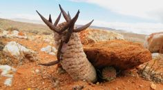 Larryleachia cactiforme with seed pods in habitat. Native to South Africa & Namibia. (Succulent)