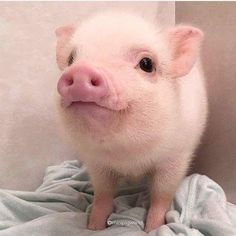 Miniature Pet Pigs – Why Are They Such Popular Pets? – Pets and Animals Cute Baby Pigs, Cute Piglets, Baby Piglets, Cute Little Animals, Cute Funny Animals, Cute Dogs, Baby Animals Pictures, Cute Animal Pictures, Cutest Animals