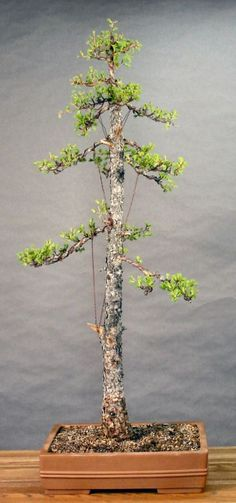 Image result for larch bonsai