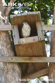 Mauritius kestrel in nest box