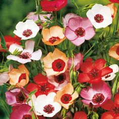 Linum Charmer Mix Seeds - Pretty filler flowers for flower displays