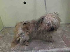 Manhattan Center   LILU - A1025647   FEMALE, BROWN / TAN, YORKSHIRE TERR / SHIH TZU, 4 yrs OWNER SUR - EVALUATE, NO HOLD Reason NEW BABY  Intake condition UNSPECIFIE Intake Date 01/16/2015, From NY 10468, DueOut Date 01/16/2015, I came in with Group/Litter #K15-001381. +++ CAME IN WITH A1025646 - SPARKY  https://www.facebook.com/photo.php?fbid=945711245441755