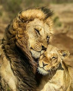 8478456574 Photo Hosting Sharing Photo Lions Pinterest