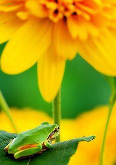 Green frog enjoying the yellow flowers #animals