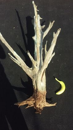 Other Wood and Project Materials 183160: Driftwood Cedar Root Texas -> BUY IT NOW ONLY: $150 on eBay!