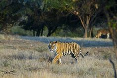 5 Wildlife jewels of Madhya Pradesh Because Any Day Spent In a National Park is a Good Day Wildlife Safari, Jungle Safari, Madhya Pradesh, Good Day, Traveling By Yourself, National Parks, Bucket, Tours, Jewels