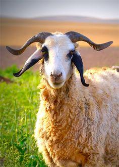 Kurdish Sheep