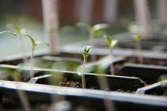 Выращивание рассады томатов - занятие непростое, но очень увлекательное. Из поста вы узнаете ряд хитростей и секретов получения крепкой томатной рассады.