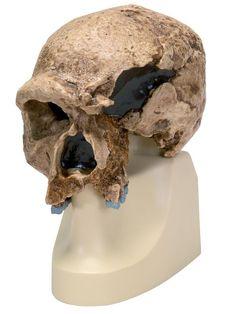 El cráneo de Steinheim y la teoría pre-sapiens | Reflexiones de un primate