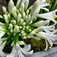 Flower of LOVE - Agapanthus. Sometimes simplicity is all you need.