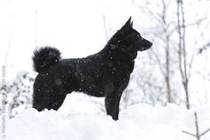 black norwegian elkhound information