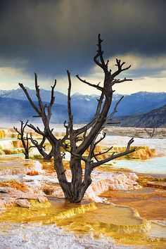 Petrified Trees, Main Terrace, Mammoth Hot Springs, Yellowstone National Park by Pulok Pattanayak, via Flickr