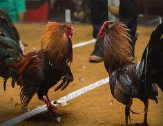 Promo Bonus Sabung Ayam 100% – Mengenal dalam mengubah taruhan judi sabung ayam bisa memberikan Anda lansgung untuk perubahan bersama dalam perubahan judi sabung ayam dengan meraih Bonus yang sangat besar dalam sebuah agen judi online yang dapat memberikan uang kepada anda secara langsung. Kami berikan kepada dalam porsi yang tepat untuk membeli uang dengan menggunakan uang yang sangat menarik dan bermanfaat untuk anda. Ciri, Rooster, Bangkok, Android, Animals, Dan, Roosters, Animales, Animaux