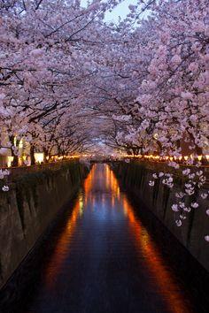 Meguro, Tokyo, Japan during cherry blossom season!