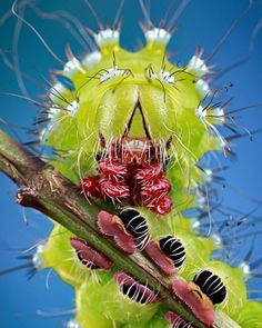 Oruga / Caterpillar, by Marco Fischer Weird Insects, Cool Insects, Bugs And Insects, Caterpillar Insect, Insect Orders, Cool Bugs, Beautiful Bugs, Insect Art, Tier Fotos