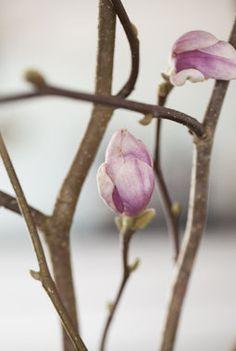 Magnolia greiner er manges favoritt med sine vakre rosa blomster.