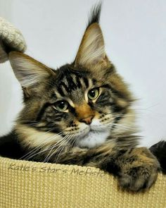 Felines http://www.mainecoonguide.com/how-to-tell-if-a-kitten-is-a-maine-coon/