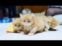 【マンチカンズ】マンチカン子猫のプロレスごっこ