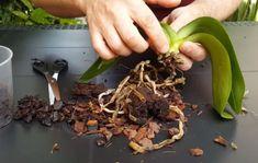 adelaparvu.com despre salvarea orhideelor cu radacini putrezite, Video Carli Marian (1) My Flower, Flowers, Orchid Care, Salvia, Indoor Plants, Make It Yourself, Tudor, Balcony, Landscaping
