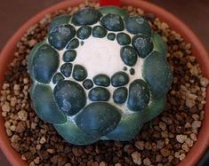 6708 best images about Weird Plants, Succulent and Cactus . Weird Plants, Unusual Plants, Rare Plants, Exotic Plants, Cool Plants, Pink Succulent, Colorful Succulents, Cacti And Succulents, Planting Succulents