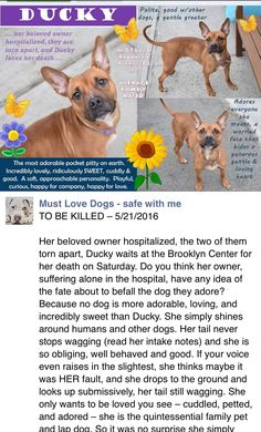 TOTALLY HEARTBREAKING!! RETURNED 7/25/16 PERS PROBL!! SHAME ON YOU ADOPTER!! - HAPPYTEARS ❤️❤️ FINALLY SAFE 7/7/16 ❤️❤️❤️ Brooklyn Center My name is DUCKY. My Animal ID # is A1073216. I am a female brown pit bull mix. The shelter thinks I am about 4 YEARS old. I came in the shelter as a SEIZED on 05/11/2016 from NY 11691, owner surrender reason stated was OWNER HOSP. http://nycdogs.urgentpodr.org/2016/05/ducky-a1073216/