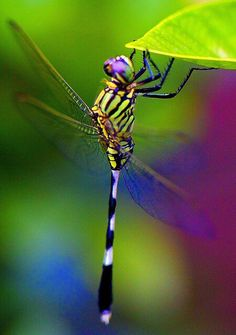 My favorite insect. I remember one Easter, at Union Hill Mountain, a young pastor caught a dragonfly for me. For some reason, it rode around on my Easter basket for a while. Apparently, not all young girls love dragonflies, I got in a lot of trouble when I showed it to my cousin who ran away screaming.