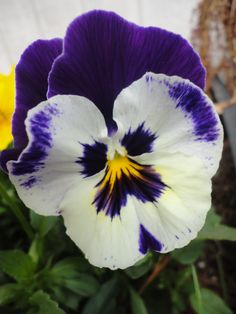 Pansy in memory of Granny
