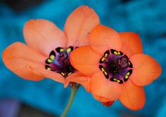 Sparaxis elegans | Flickr - Photo Sharing!