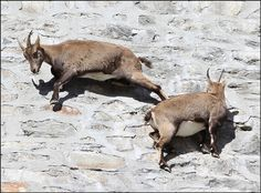 """https://flic.kr/p/dqXBe1   ungulati alpinisti sulla muraglia della diga idroelettrica di Cingino, Antrona, Ossola   ..La verticalità della possente muraglia non preoccupa quella nutrita colonia di ungulati alla ricerca delle infiorescenze di salnitro utili per la loro dieta. Si aggirano lungo la parete con lentezza e prudenza,"""" incollati """" alla pietra grazie a speciali callosità. E' possibile avvicinarsi a loro in qualsiasi stagione, evitando di spaventarli con grida o movimenti rapidi. Per…"""