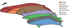 Baleen whale sizes - Baleen whale - Wikipedia, the free encyclopedia