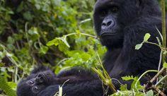 Gorilla nella nebbia: emozioni indimenticabili in Ruanda Trekking, Blog, Travel, Animals, Viajes, Animales, Animaux, Trips, Animal Memes