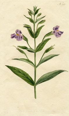 CURTIS BOTANICAL 1791: MONKEY FLOWER No.283 Hand-Colored Copperplate Engraving