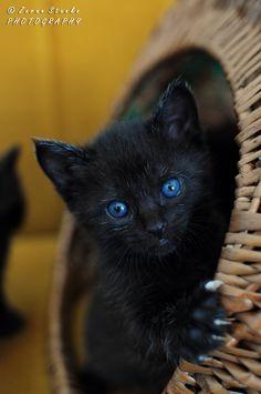 Blue eyed kitty by Zoran Stanko - too cute