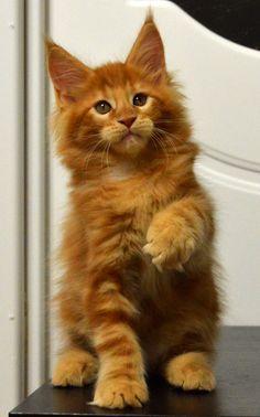 Maine coon kitten Montaro Darsy, 2 month