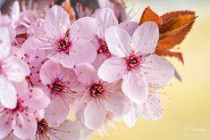 Prunus pisardi, marceando Prunus, Face, Entryway, The Face, Peach, Faces, Facial