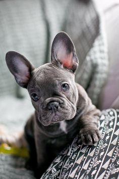 Blue French Bulldog Puppy #bulldogpuppy